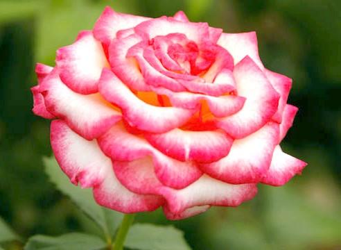 Роза, чайно-гібридна група, сорт Ballares
