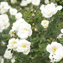 Групи старовинних садових (паркових) троянд