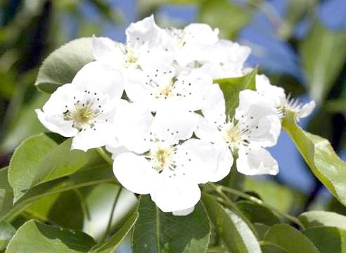 Груша, цвітіння, Pyrus communis