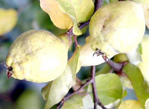 Груша, плоди, Pyrus communis