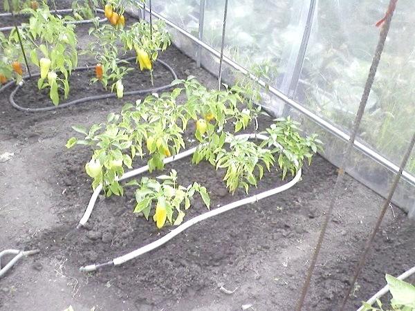 система вирощування та поливу