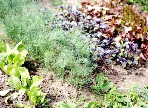 Пряно-ароматичні трави на грядці