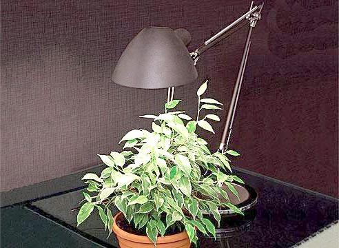 Кімнатна рослина під лампою