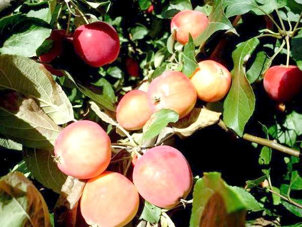 Яблучка червоні