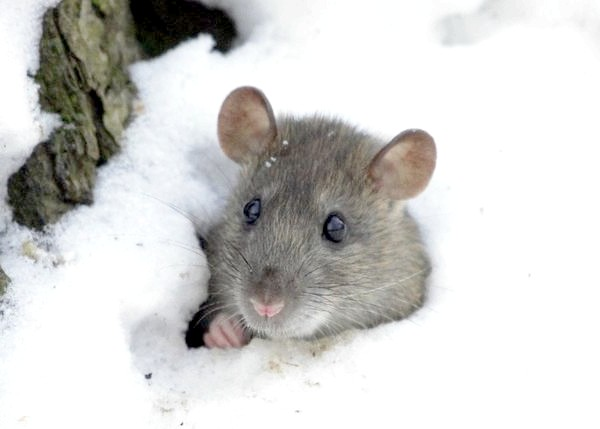 Як боротися з мишами на дачі