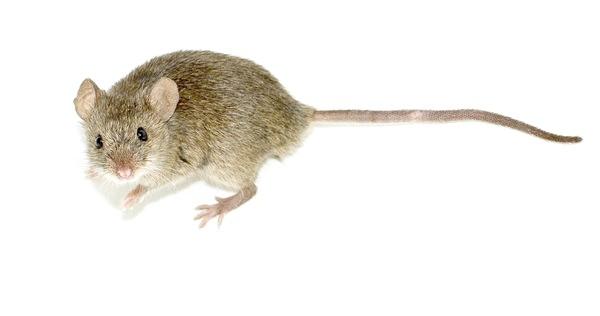 Миша будинкова, фото з Вікіпедії