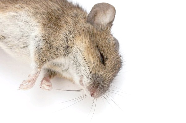 Отруєна миша - малоприємне видовище