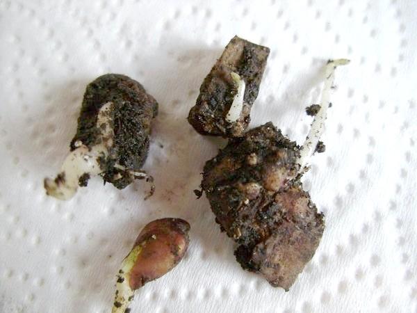 Шкірка картоплі з паростками
