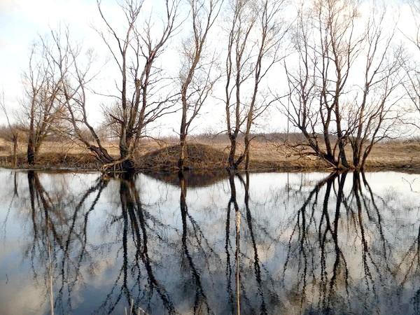 Віддзеркалення дерев у ставку