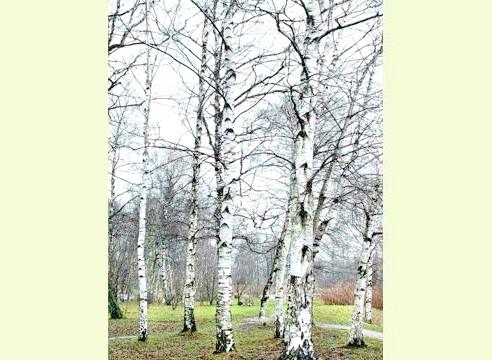 Береза пухнаста, деревна група, Betula pubescens