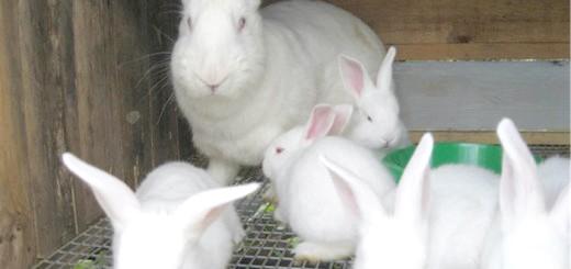 Кролик породи європейський Білий велетень, lux-ferma.com.ua