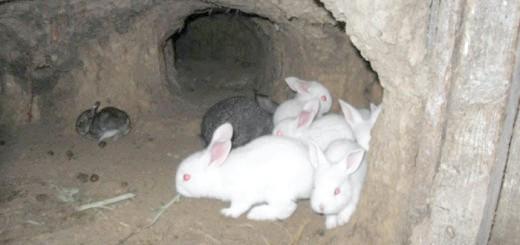 Вирощування кроликів в ямах, atmagro.ru