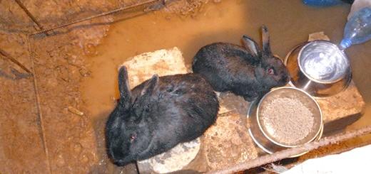 На фото годування кроликів в ямі, samaudacha.ru