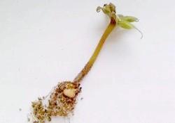 Як підготувати глоксинію на зиму, щоб отримати бурхливе цвітіння влітку