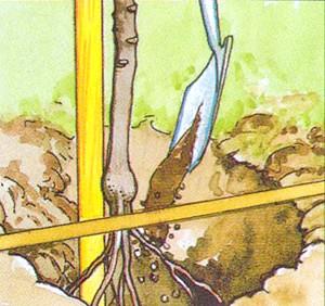 Фото - Як посадити саджанець чагарників, дерев