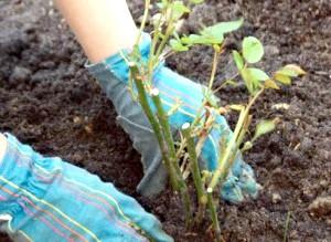 Фото - Як правильно садити троянди. обрізка при посадці