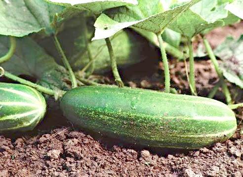 Огірок, плоди, Cucumis