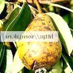 Фото - Як розпізнати хвороби яблунь і груш