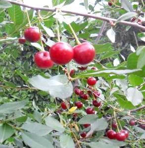 Фото - Як прискорити плодоношення дерев