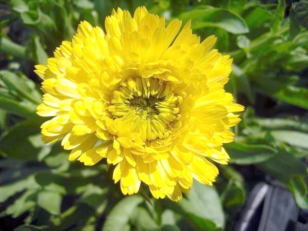 Календула махрова жовта