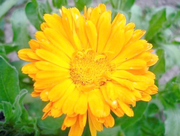 Календула яскраво-помаранчева