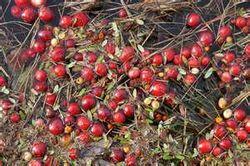 Фото - Як вирощувати журавлину, саджанці журавлини з живців