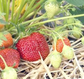 вирощування полуниці у відкритому грунті