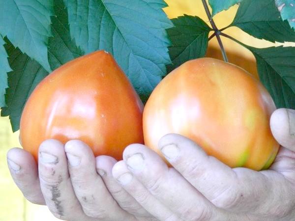 помідор