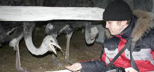 Фотографія процесу годування страусів, websadovod.ru