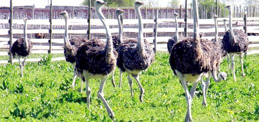 Фотографія страусів в загоні, websadovod.ru
