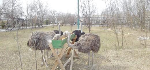 Фотографія процесу годування страусів, ubr.ua