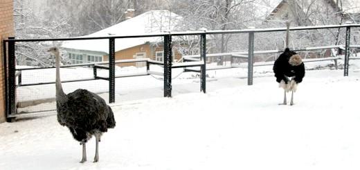 На фото вигул страуса взимку, websadovod.ru