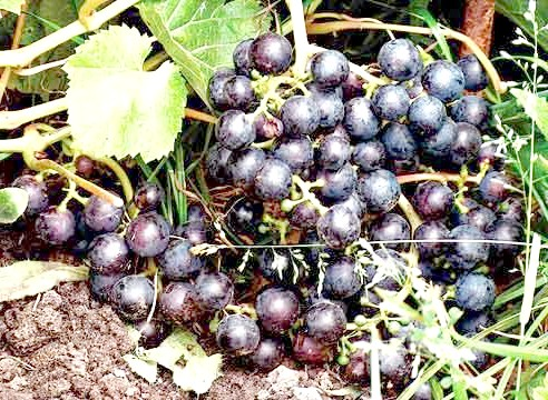 Виноград, сорт Тамбовський синій