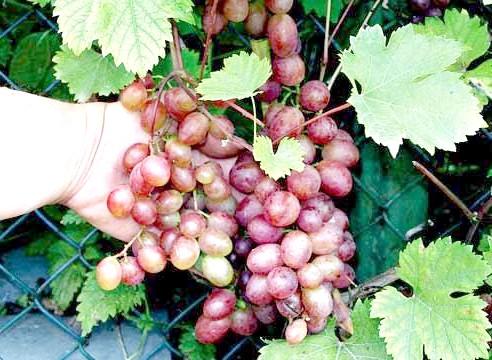 Виноград, сорт Вікторія