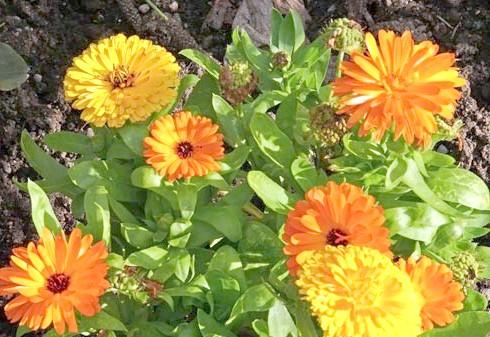 квітки календули і їх вирощування