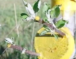 Копуліровка яблуні: весняна щеплення живців