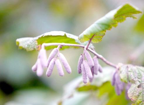 Ліщина звичайна, Corylus avellana