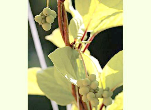 Лимонник, ліана, незрілі плоди, Schizandra chinensis