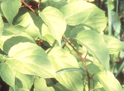 Лимонник, листя, Schizandra chinensis