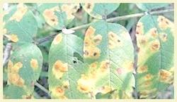 Лишайники, парша та борошниста роса на яблунях - методи боротьби