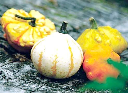 Дрібноплідна декоративний гарбуз, плоди