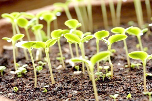 Рослини, удобрені фосфором