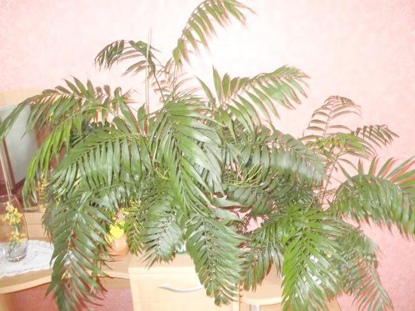 На фото пальма ховеі