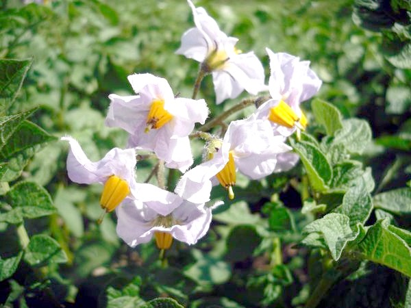 Картопля особливо вимогливий до вологи в пору цвітіння