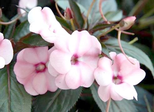 Бальзамін Новогвінейський, квіти
