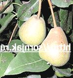 Фото - Нові сорти груш. переваги нових сортів