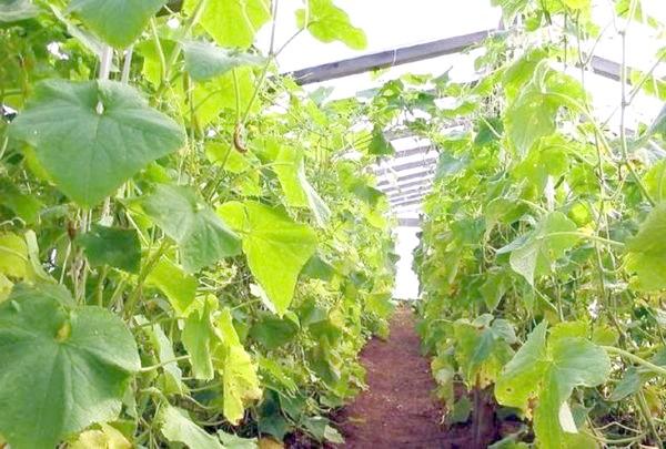 Вирощування огірків