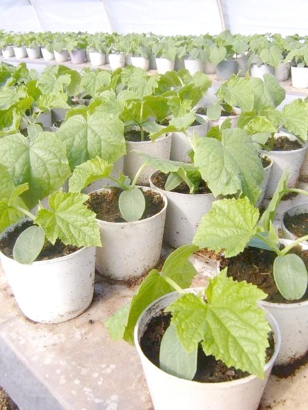 вирощування розсади огірків