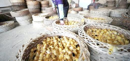 Вирощування качок на м'ясо