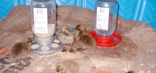 Домашні качки